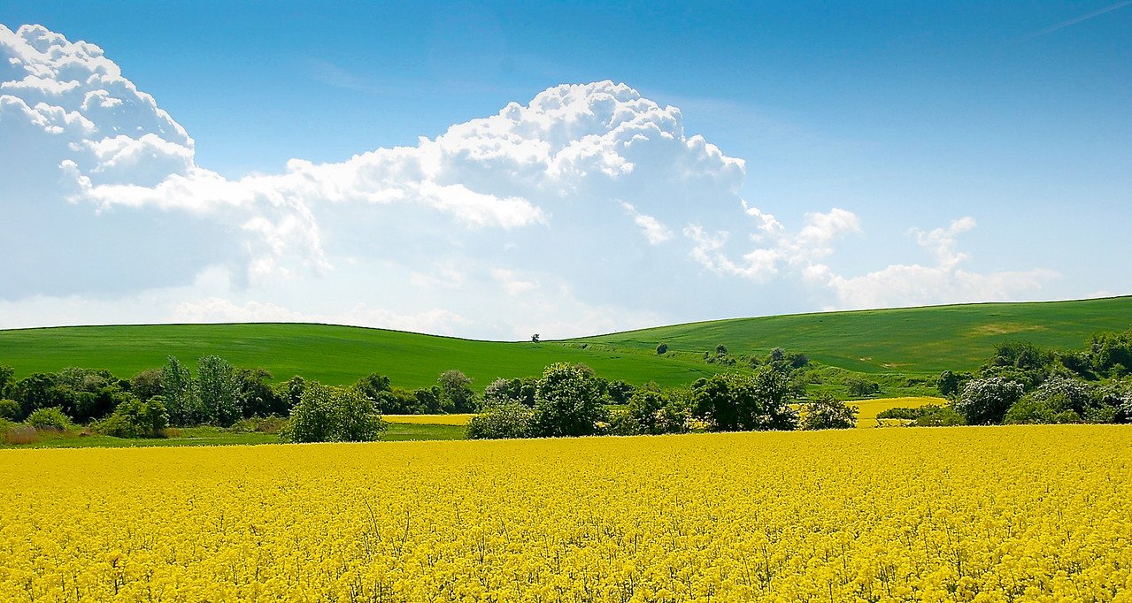 Rapeseed (Brassica napus)  Field near Halle, Germany