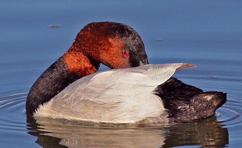 Peek-a-boo Male Canvasback (Contempo Lagoon)