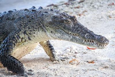 Belize - Coco Plum - Rebecca The Crocodile