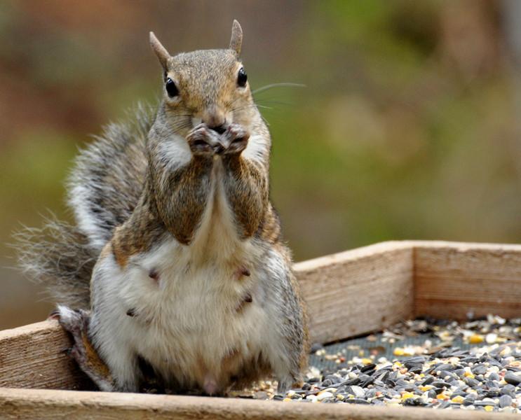squirrel eating.jpg