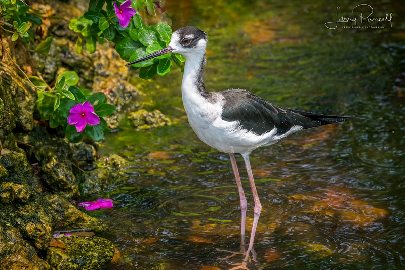 Black Necked Stilt - Cartagena