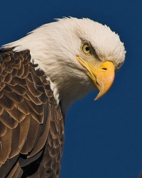 Bald Eagle Haliaeetus leucocephalus