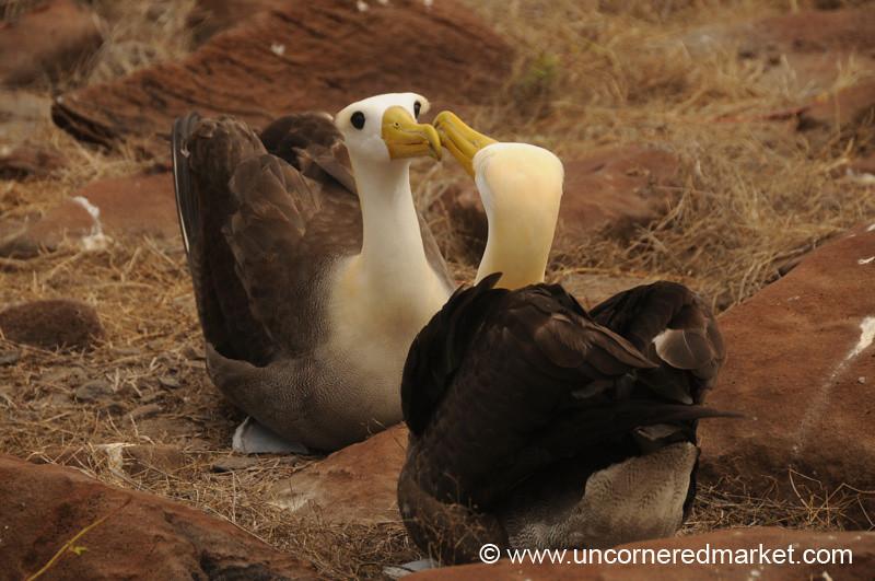 A Little Albatross Kiss - Galapagos Islands