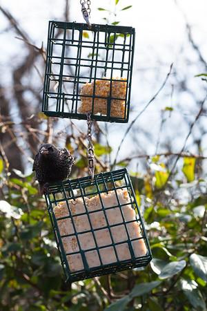 Starling Intruder