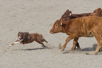 Comstock Classic ASCA Stockdog Trial 2015
