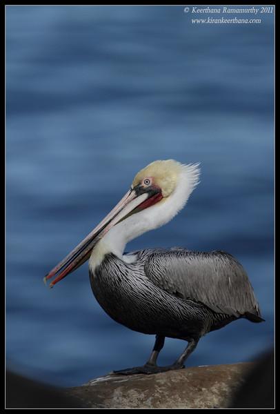 Brown Pelican in breeding plumage posing, La Jolla Cove, San Diego County, California, December 2011