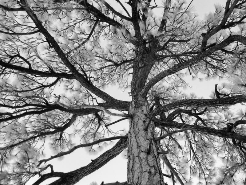 Ponderosa Pine in Infrared