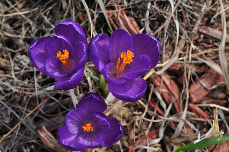 third signs of spring - crocus