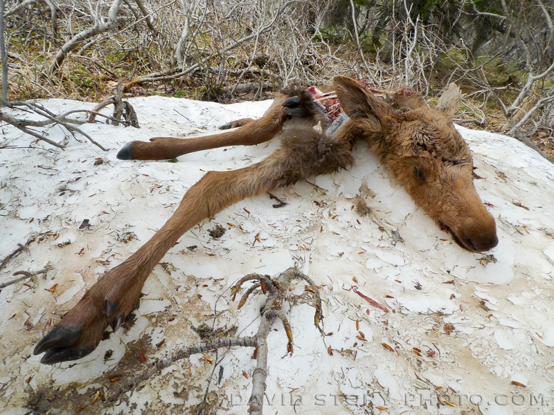 A moose calf carcass deteriorates atop a patch of snow near Crescent Lake, Chugach National Forest.