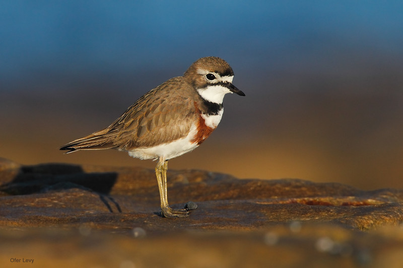 Double-banded Plover 6.jpg