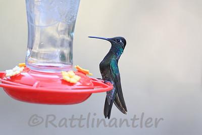 Rivoli's Hummingbirds