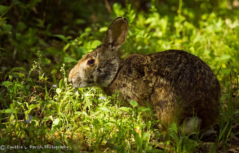 BunnySabineWoods.jpg