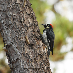 Woodpeckers,  Doves,  Pigeons,