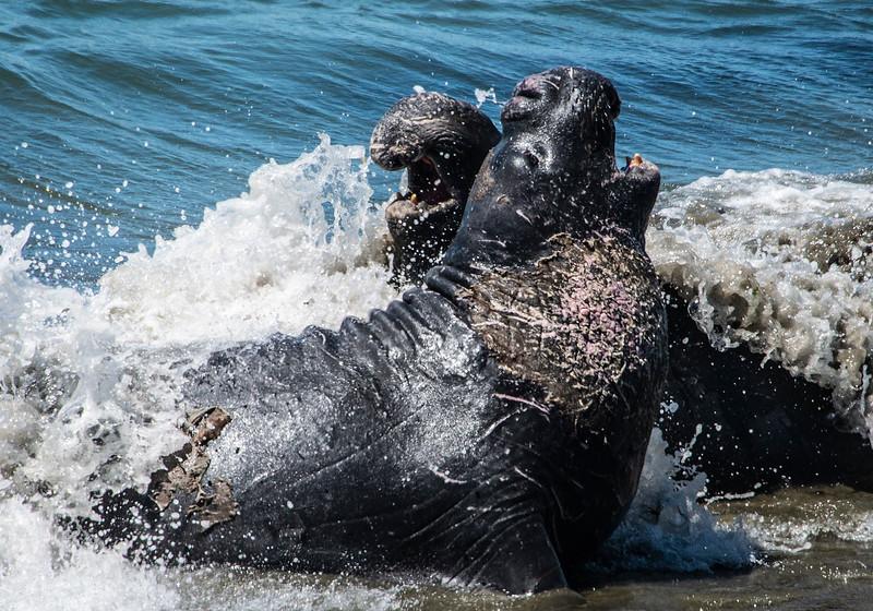 Seal Fight.jpg