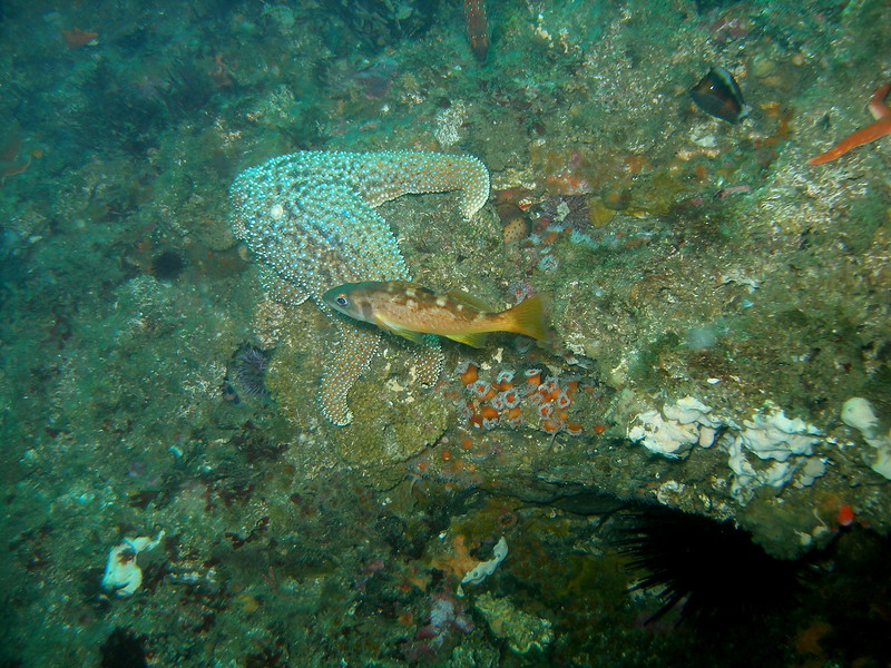 Perhaps a young Yellowtail or Olive rockfish cruising beautiful Naples Reef, CA