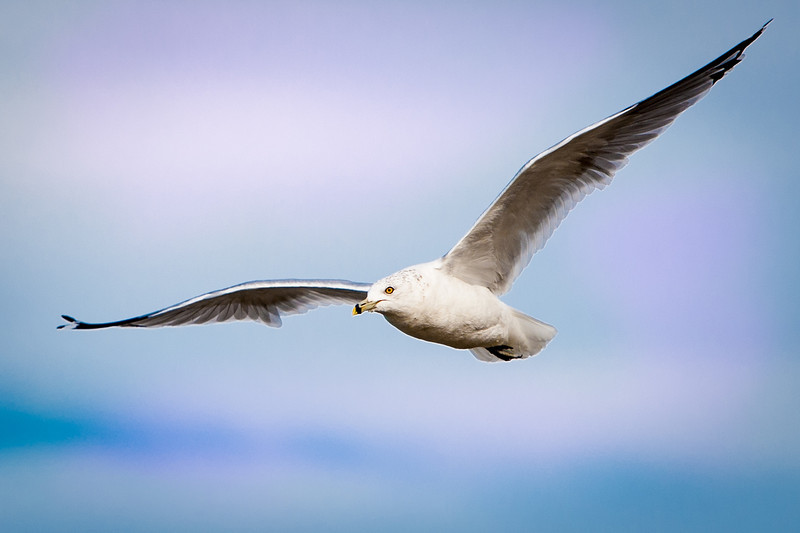 seagull 4x6.jpg