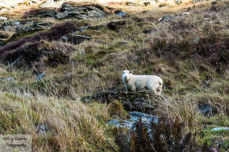 Sheep on mountain