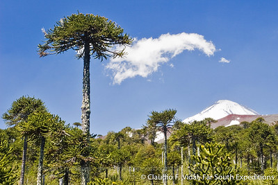 Araucaria Forests
