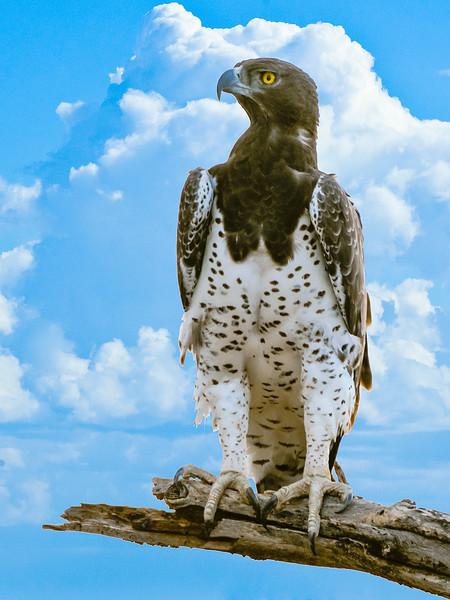 Birds_Eagle_Martial-1.jpg