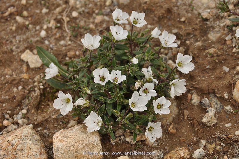 Arenaria roseiflora