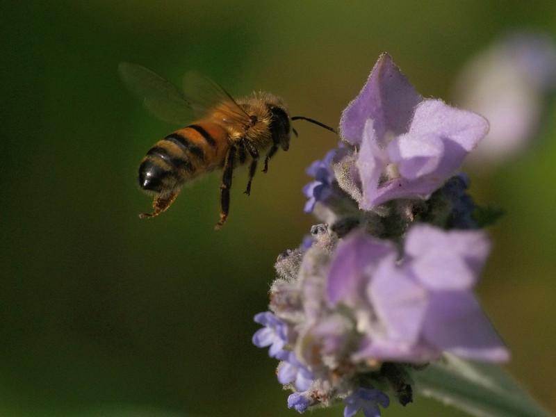 20130915_1614_3403 lavender bee