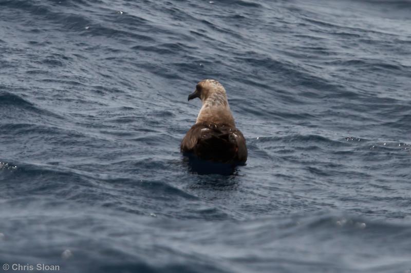South Polar Skua at Oregon Inlet pelagic trip, NC (08-22-2010) - 518 (08-22-2010)