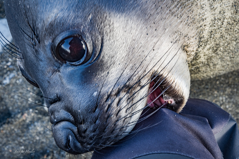 weaner seal biting knee.jpg