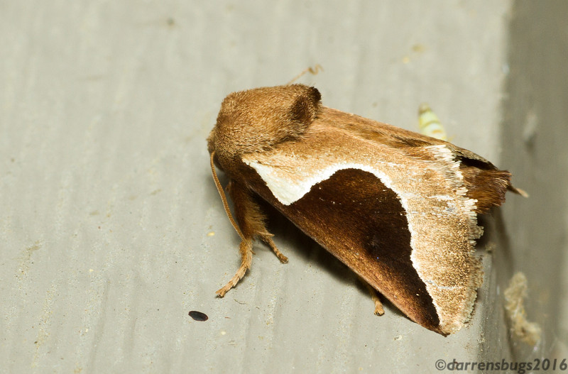 Skiff moth, Prolimacodes badia (Limacodidae) from Iowa.
