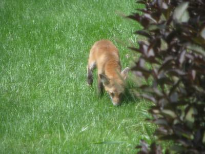 Fox (Zorro) 2