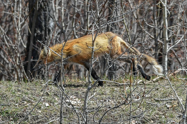 4-28-17 Shabby Red Fox