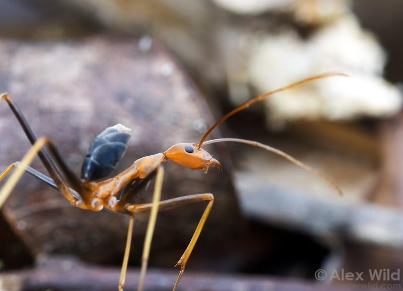 Leptomyrmex rufipes.  A spider ant worker, gaster raised characteristically above her body.   Mungkan Kandju National Park, Queensland, Australia