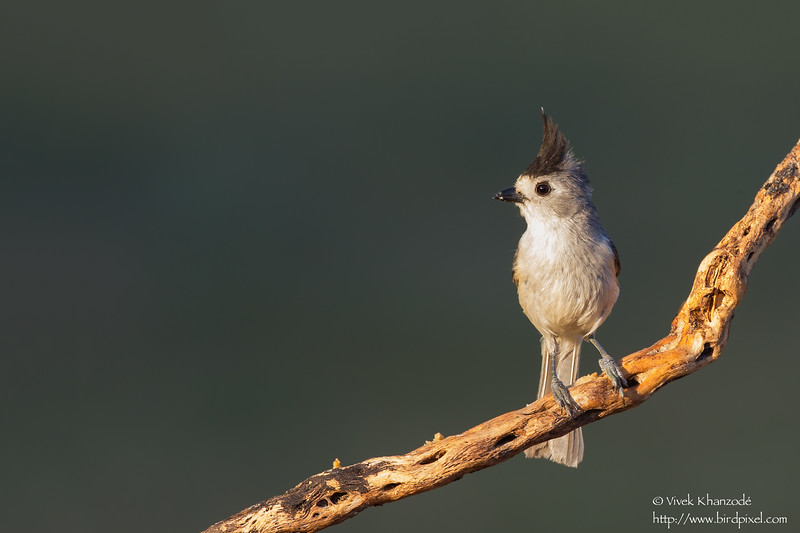 Black-crested Titmouse - Edinburg, TX, USA