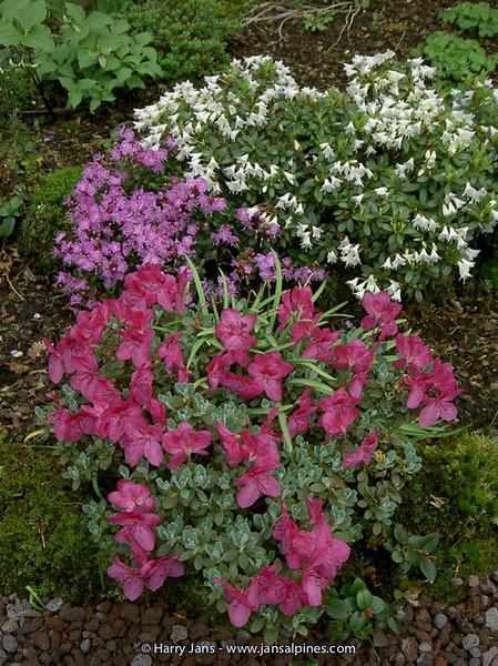 Rhododendron 'Giha', 'Egret' & Kalmiopsis leachiana