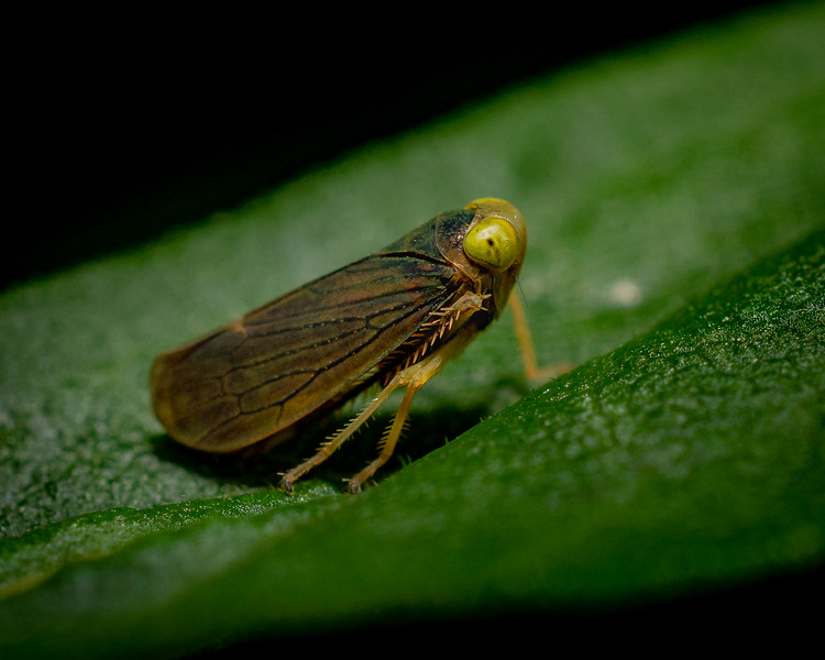 Leaf Hopper- 7-25-18.jpg