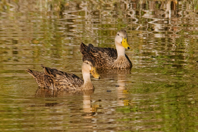 Duck - Mottled - Bailey Tract - Sanibel Island, FL