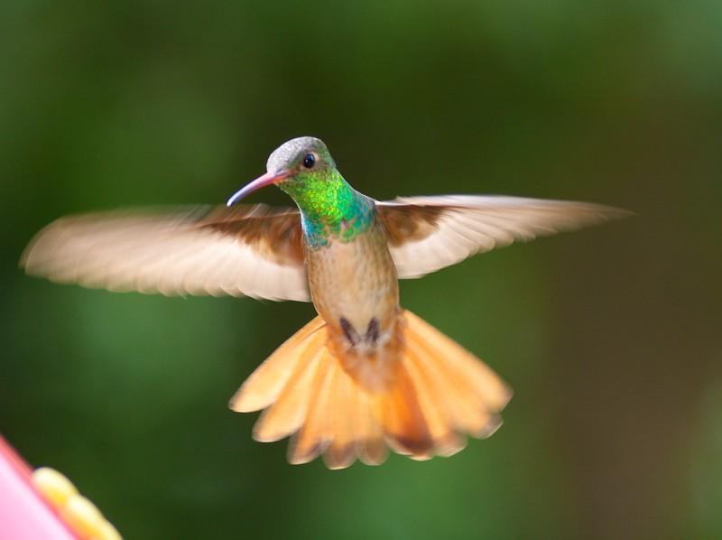 Buff-bellied Hummingbird [April; Krenmueller Farms, Lower Rio Grande Valley, Texas]