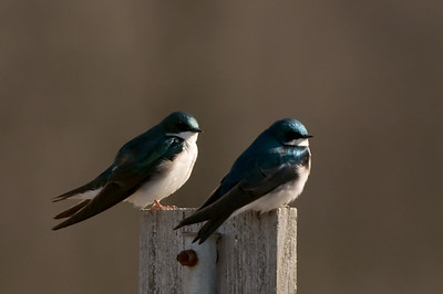 Swallows, Swifts