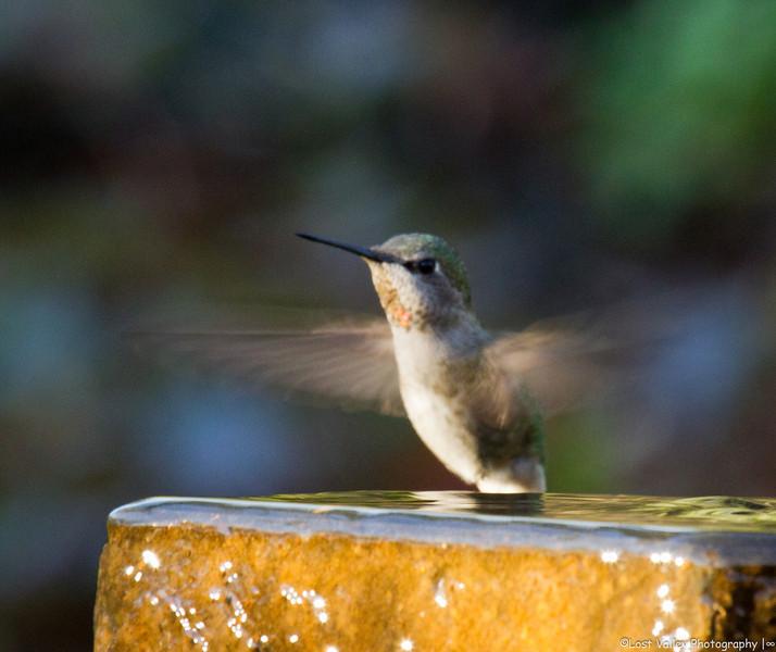 Hummingbird-2268.jpg