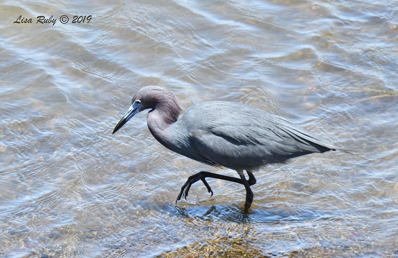 Little Blue Heron  - 05/27/2019 - Robb Field