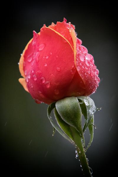 Rain Roses 53-Edit.jpg