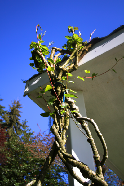 Wisteria starting to leaf out