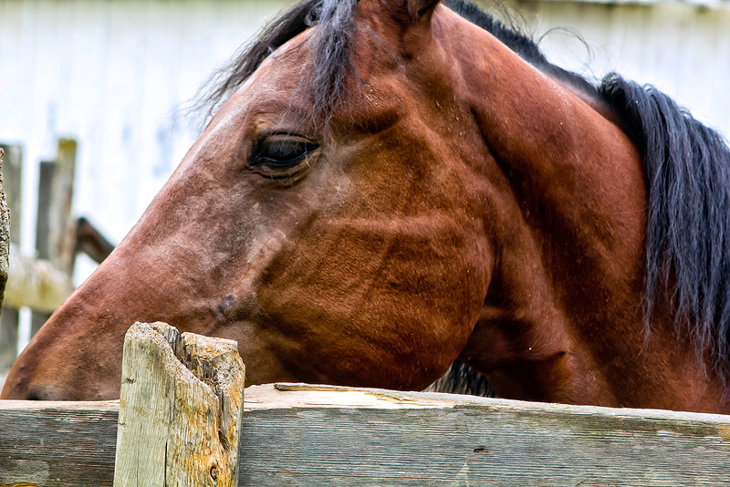 Vermont_Morgan Horse_101.jpg