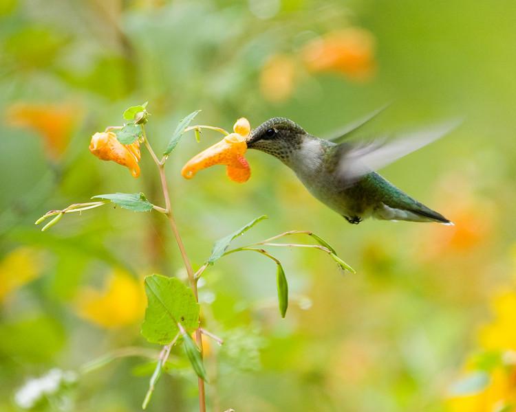 Hummingbird - Ruby Throated Hummingbird (f or juv.) and Trumpet Vine