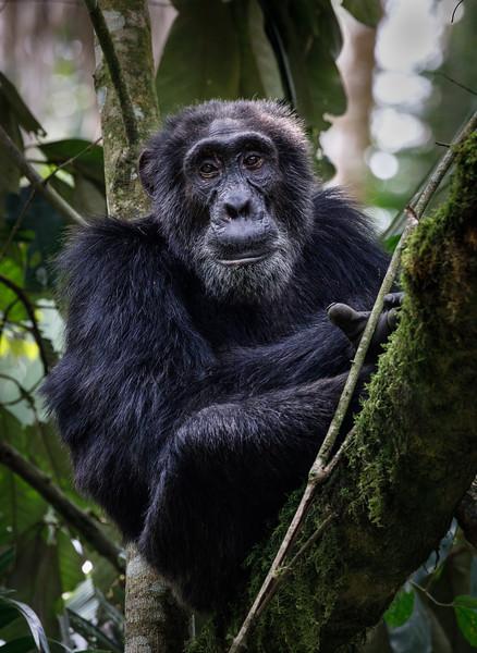 African_Apes_0218_PSokol-1241-Edit.jpg