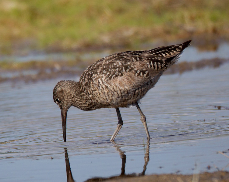Willet Southern Nevada 2016 05 26-1.CR2