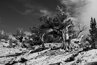 BristleCone Pines , The Oldest Trees on Earth