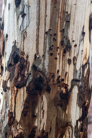 Eucalyptus  Forest
