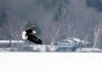 Bald eagle over Cheshire - 010621