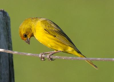 Lesser-grass Finch