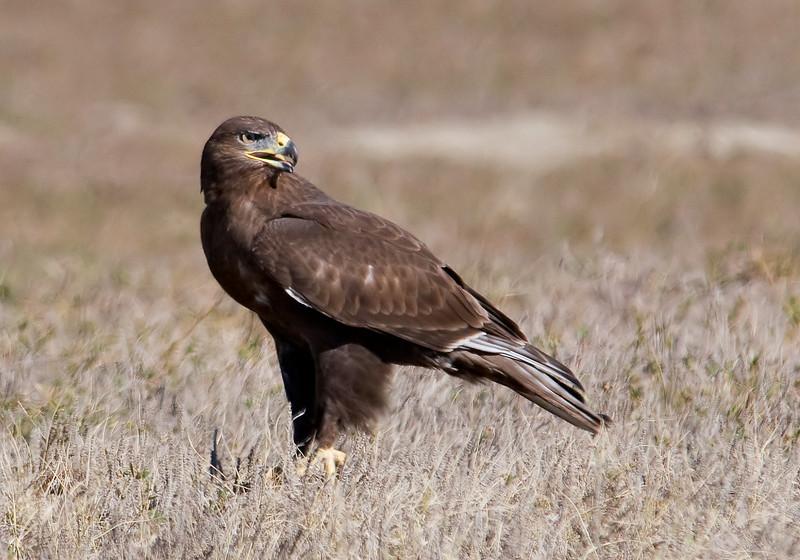 Hawk - Ferruginous - juvenile - dark - Badlands Nat'l Park, SD - 02